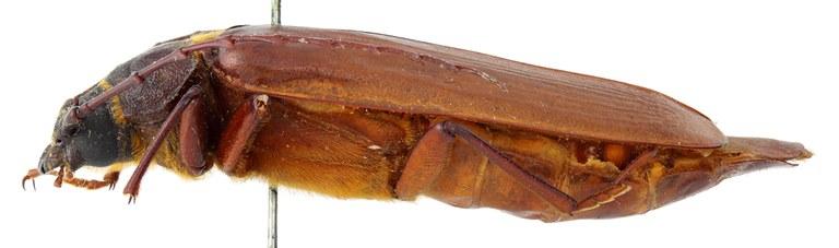 Closterus elongatus 02 BL Allotype F 048 BRUS 201405.jpg