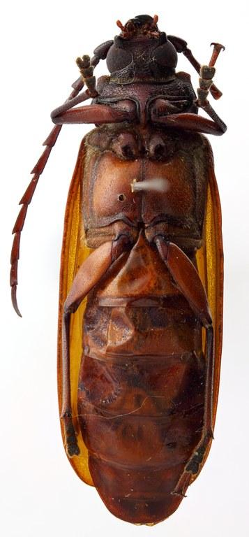 Closterus elongatus 03 SP Type F 039 BRUS 201405.jpg