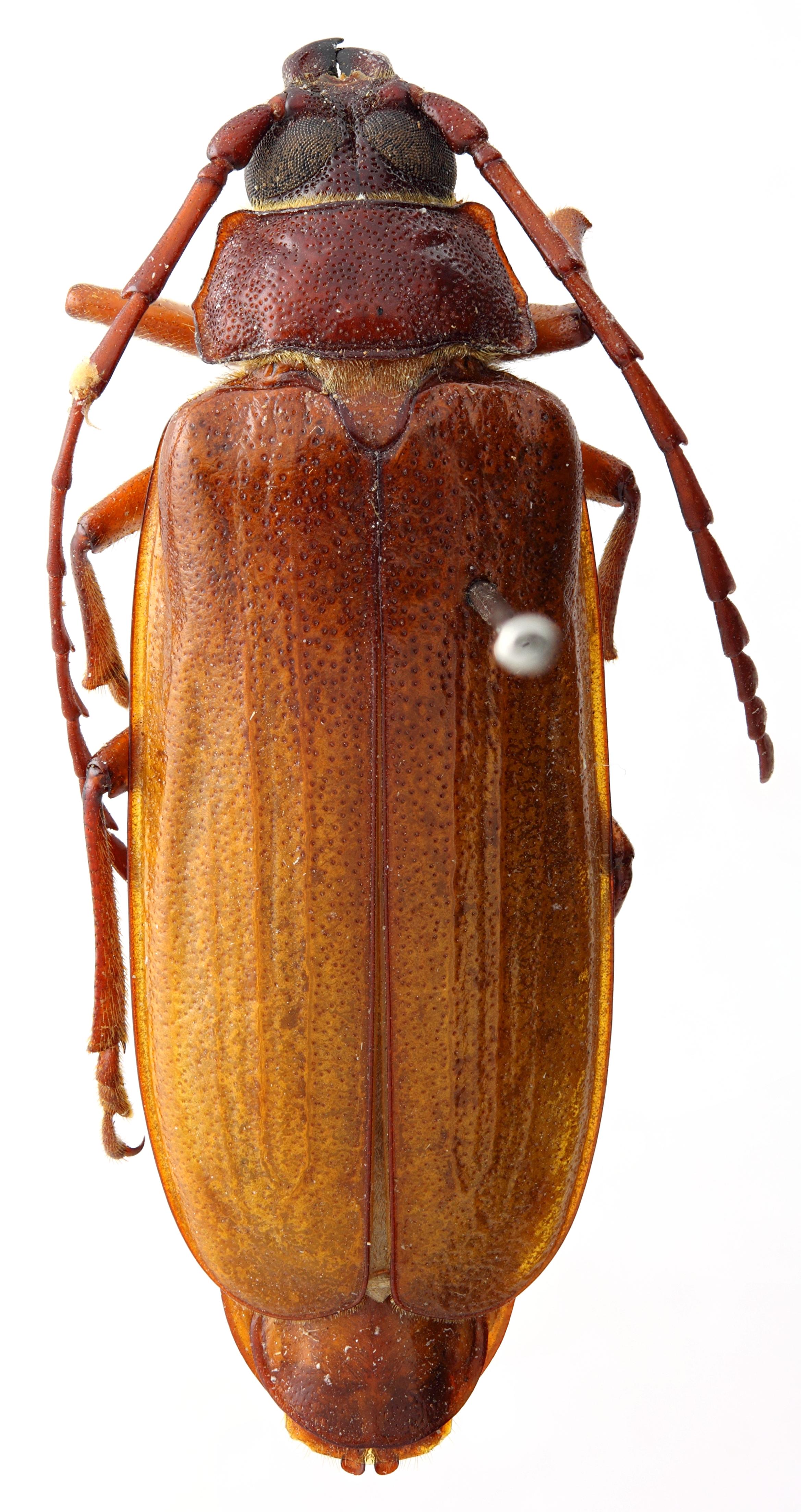 Closterus longiramis 02 HP Allotype F 031 BRUS 201405.jpg