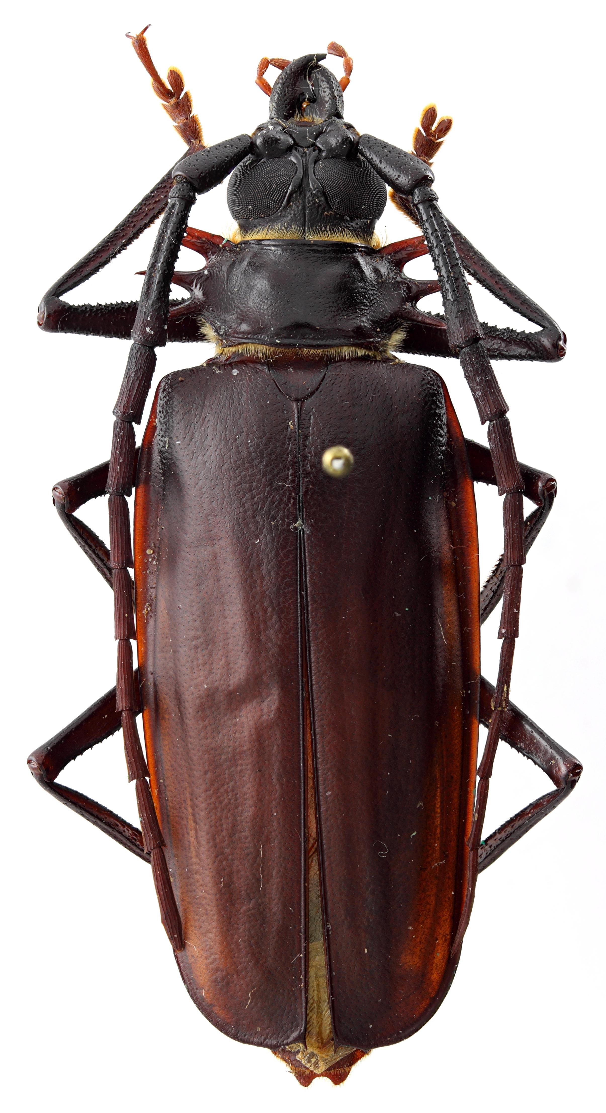 Derobrachus chemsaki 03 HP Paratype M 048 BRUS 201405.jpg