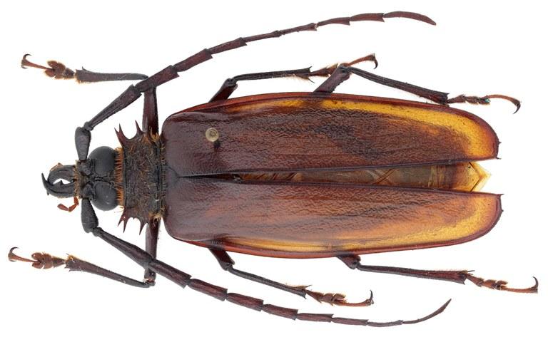 Derobrachus cusucoensis ht M D.jpg
