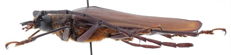Derobrachus cusucoensis ht M L.jpg