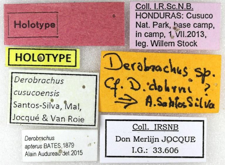 Derobrachus cusucoensis ht M Lb.jpg