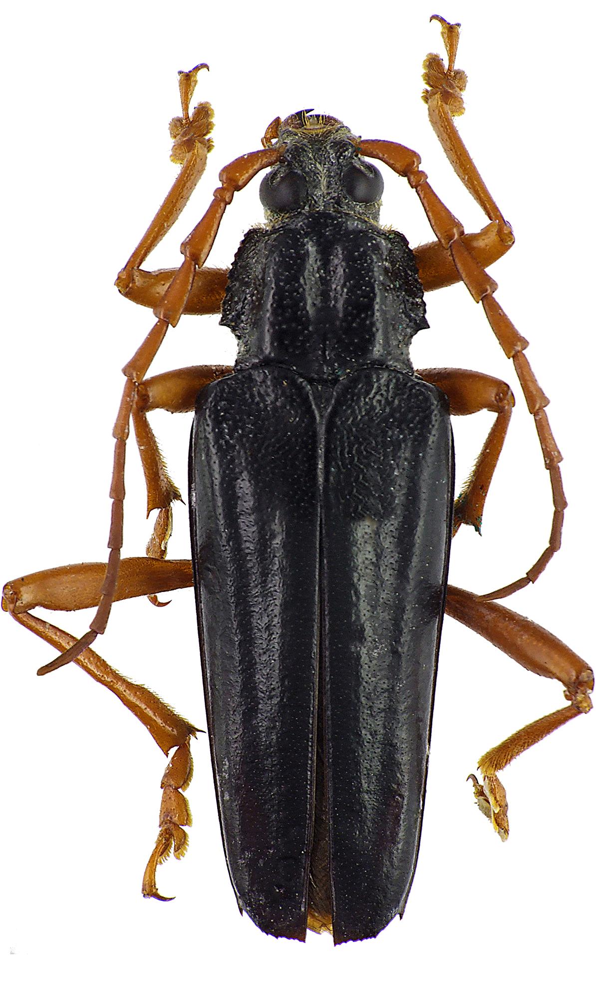 Elateropsis lineatus 46981cz85.jpg