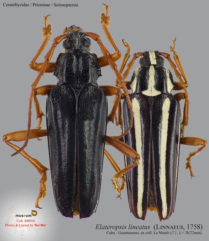 Elateropsis lineatus.jpg
