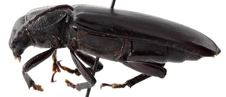 Eudianodes tanzaniensis 02 BL Allotype F 032 BRUS 201405.jpg