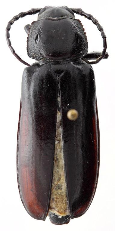 Eudianodes tanzaniensis 02 HP Allotype F 032 BRUS 201405.jpg