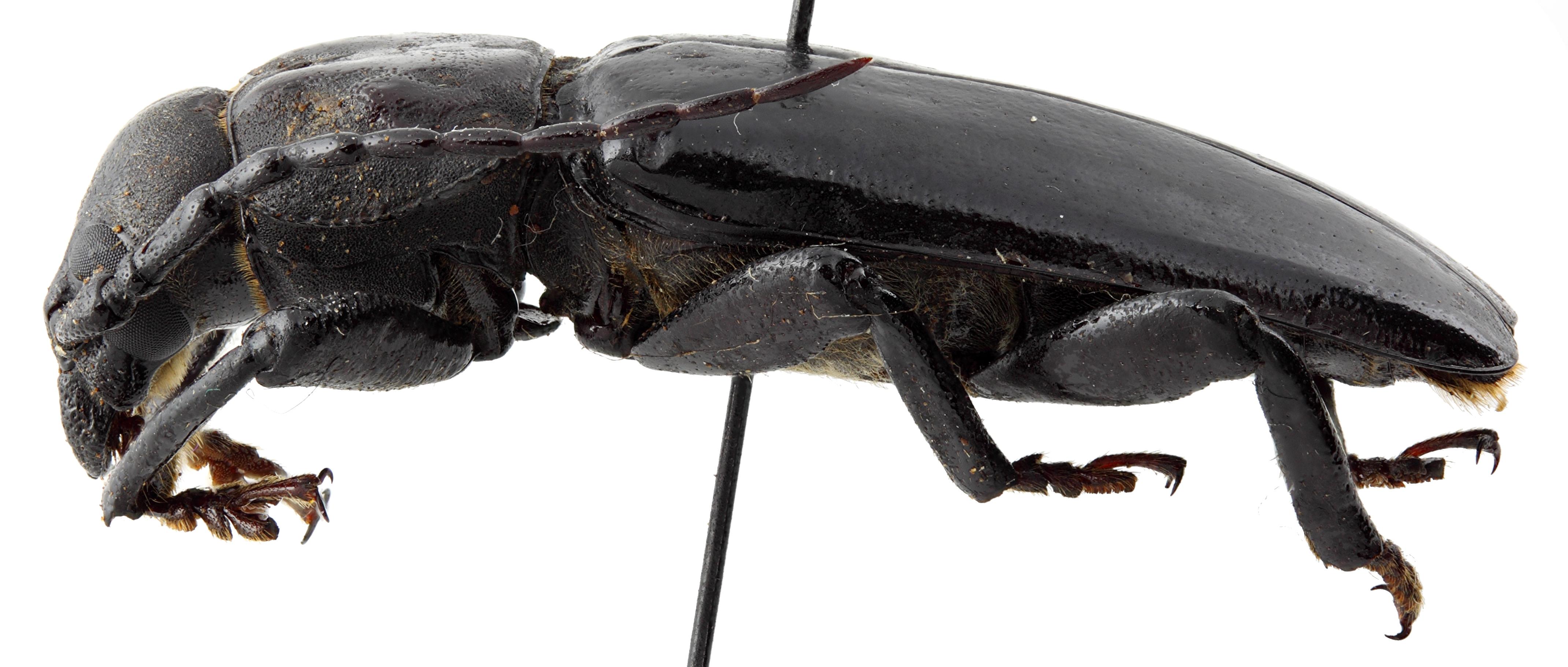 Eudianodes tanzaniensis 01 BL Holotype M 034 BRUS 201405.jpg