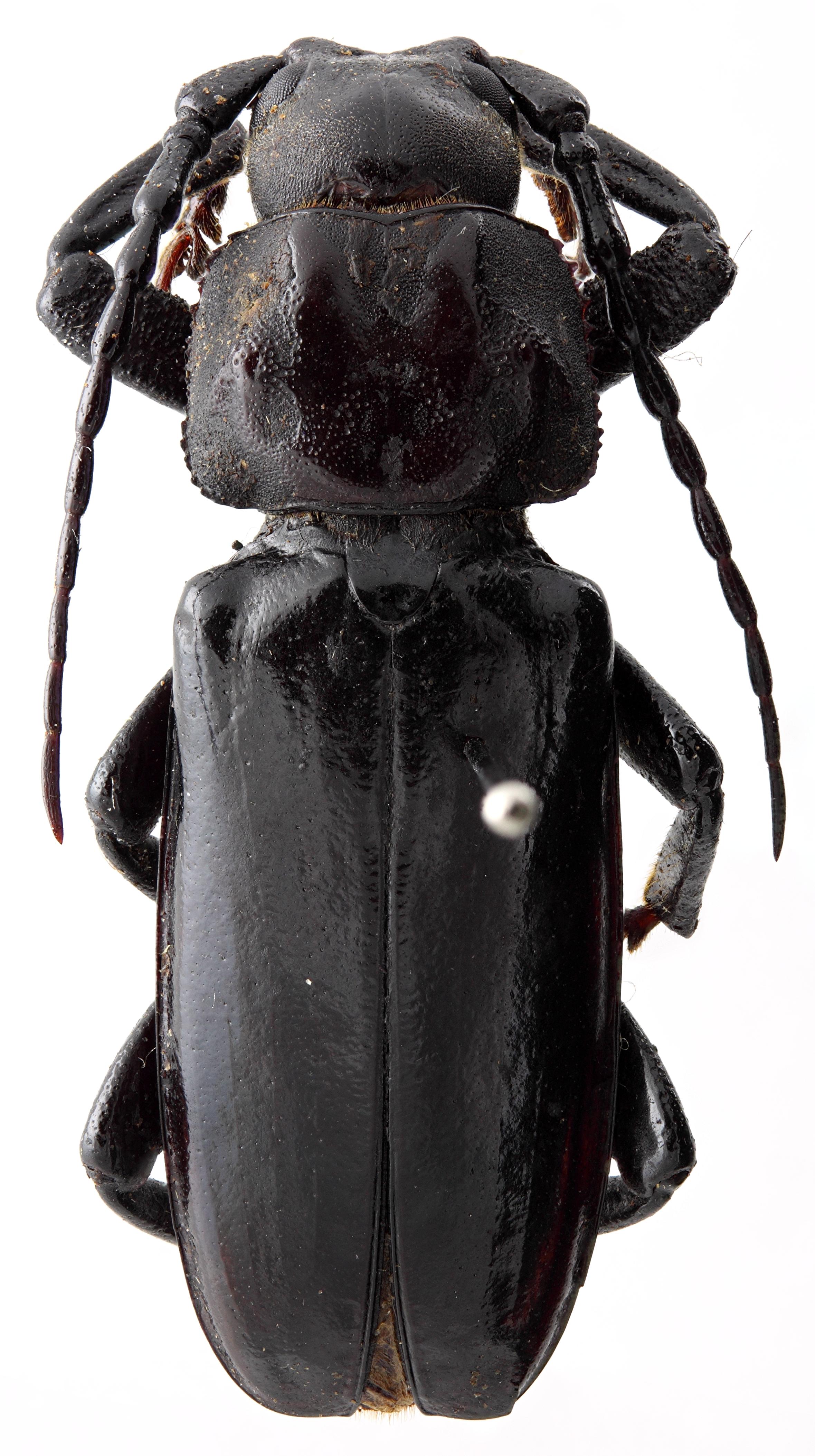 Eudianodes tanzaniensis 01 HP Holotype M 034 BRUS 201405.jpg