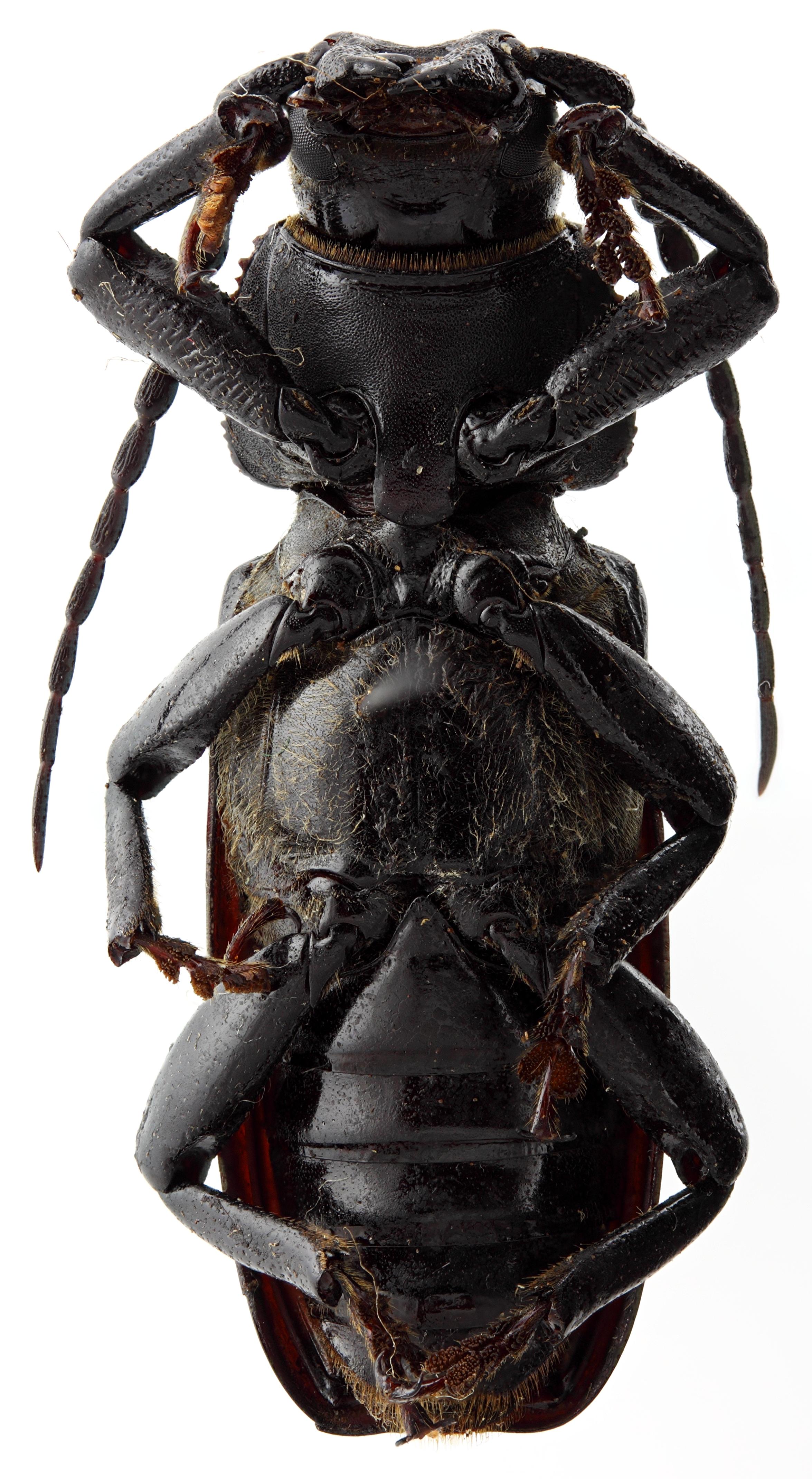 Eudianodes tanzaniensis 01 SP Holotype M 034 BRUS 201405.jpg