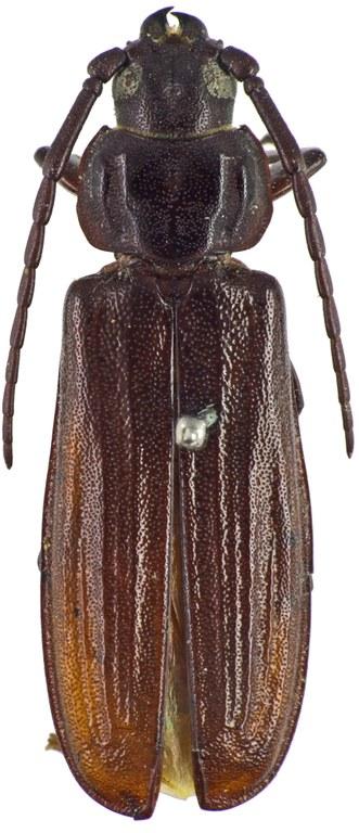 Eurypoda nigrita T 57561cz66.jpg