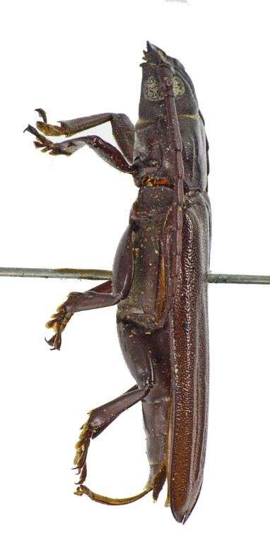 Eurypoda nigrita T 57591cz95.jpg
