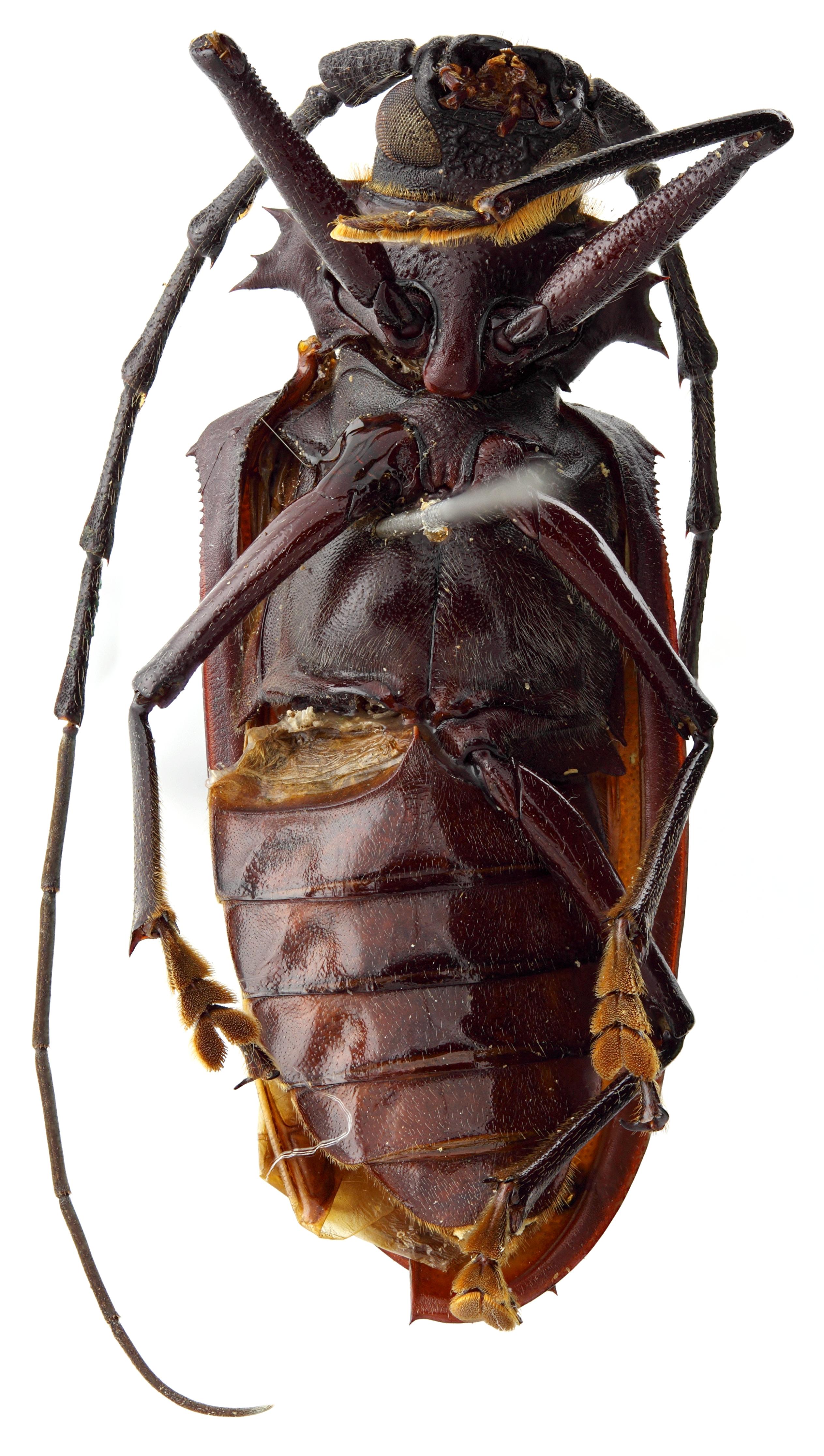Hoploderes boppei 05 SP Holotype M 038 BRUS 201405.jpg
