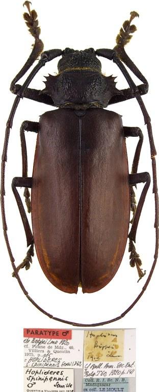 Hoplideres boppei Paratype Male 46902cz06.jpg