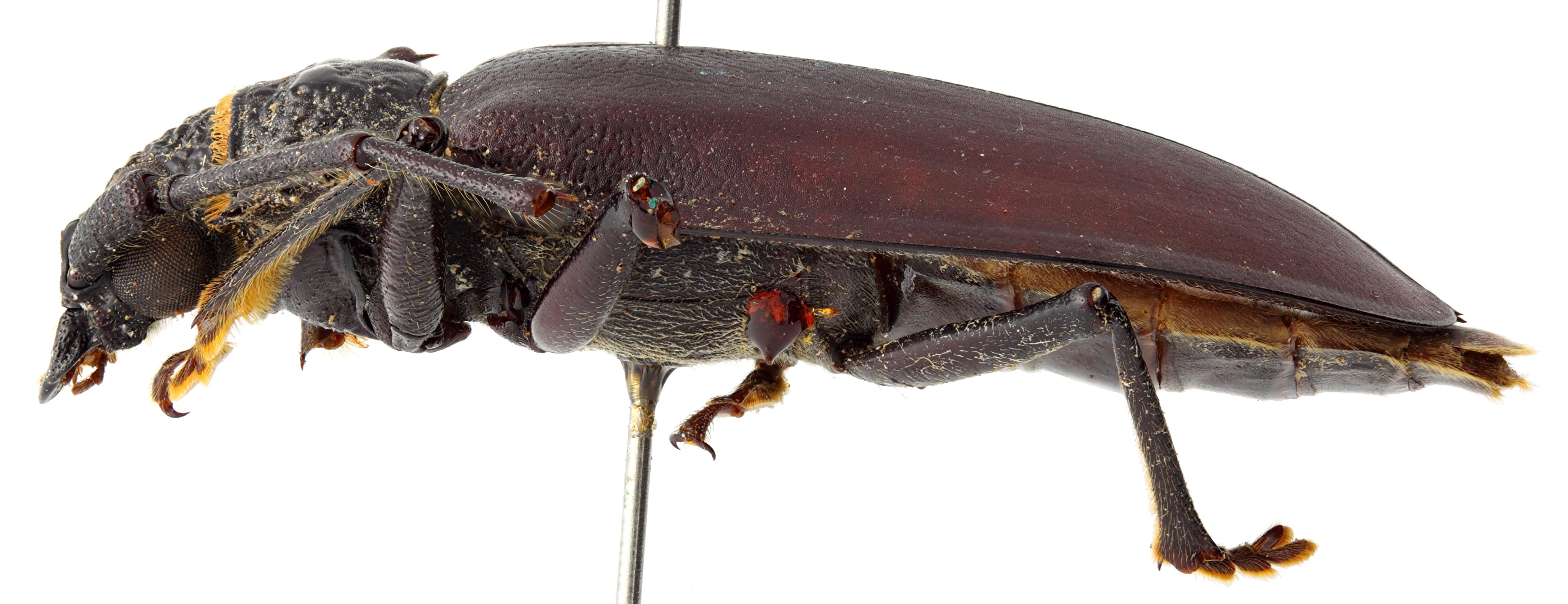 Hoploderes intermedius 05 BL Holotype M 044 BRUS 201405.jpg