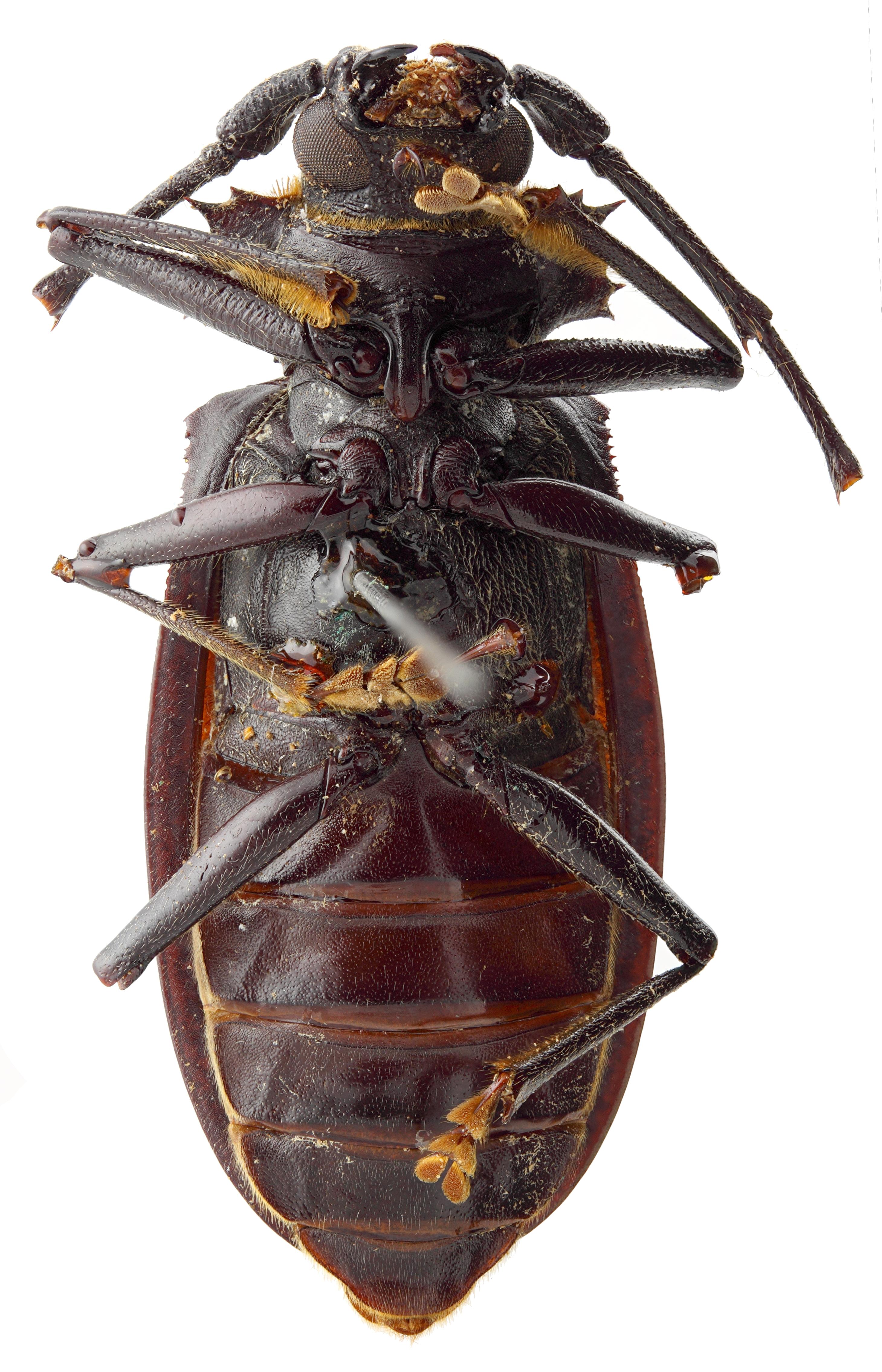 Hoploderes intermedius 05 SP Holotype M 044 BRUS 201405.jpg