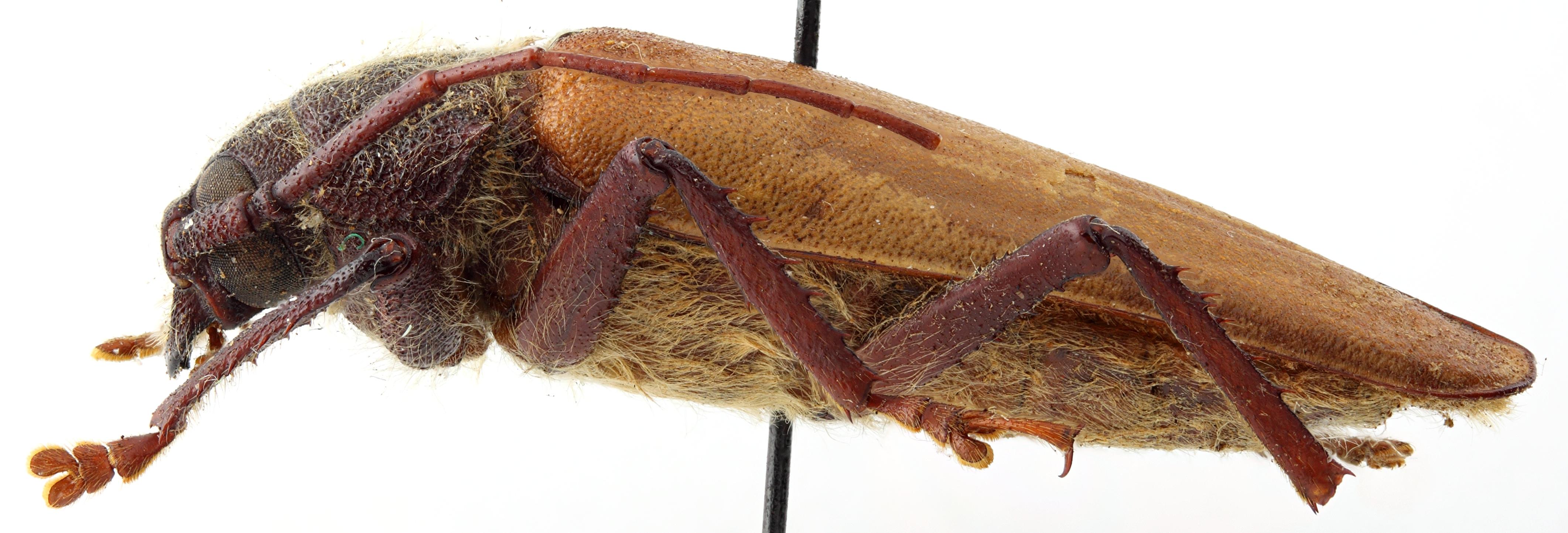 Hovatoma collarti 04 BL Holotype M 035 BRUS 201405.jpg