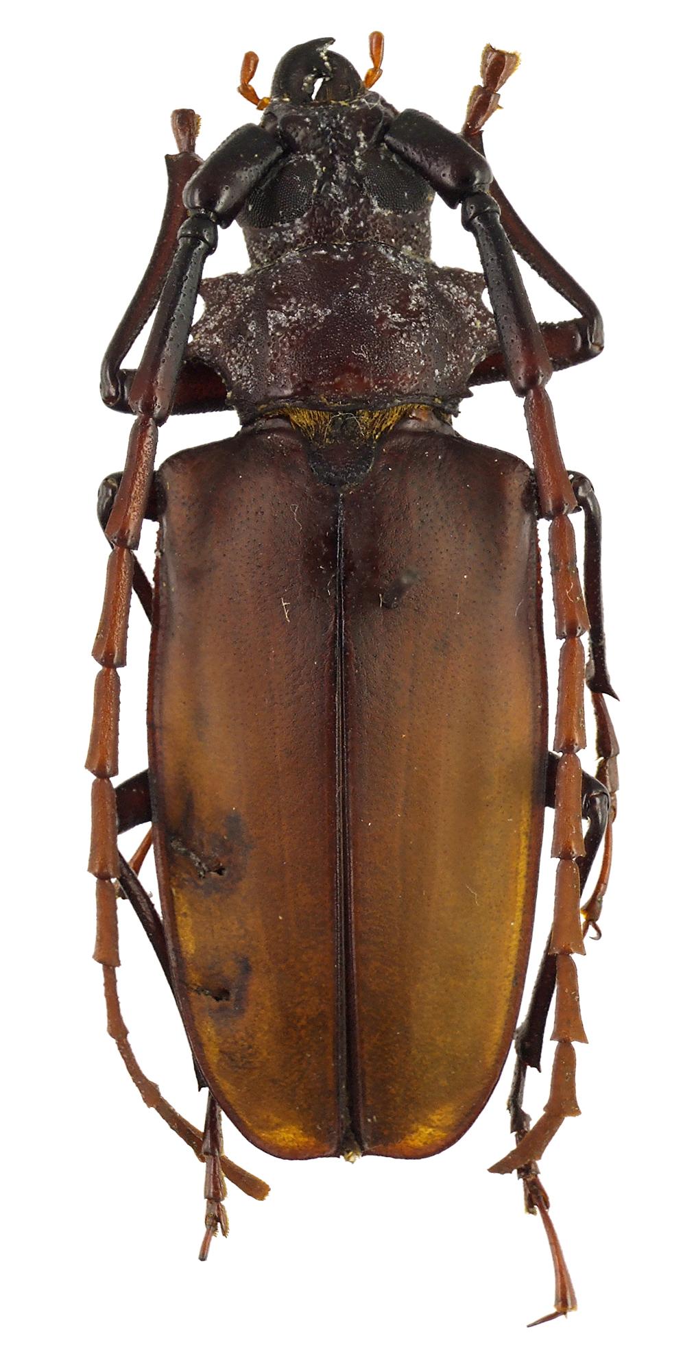 Logaeus subopacus 47424cz27.jpg