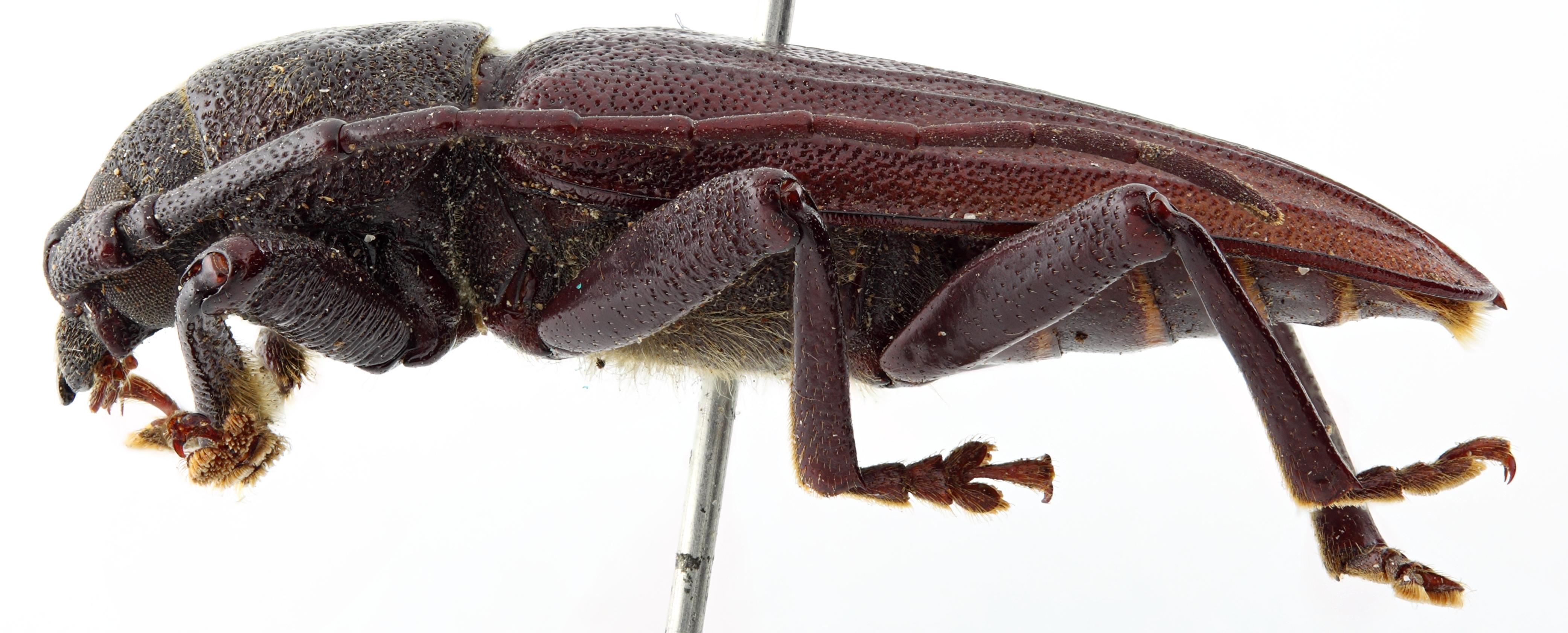 Macrotoma bothridera 07 BP Paratype M 028 BRUS 201405.jpg