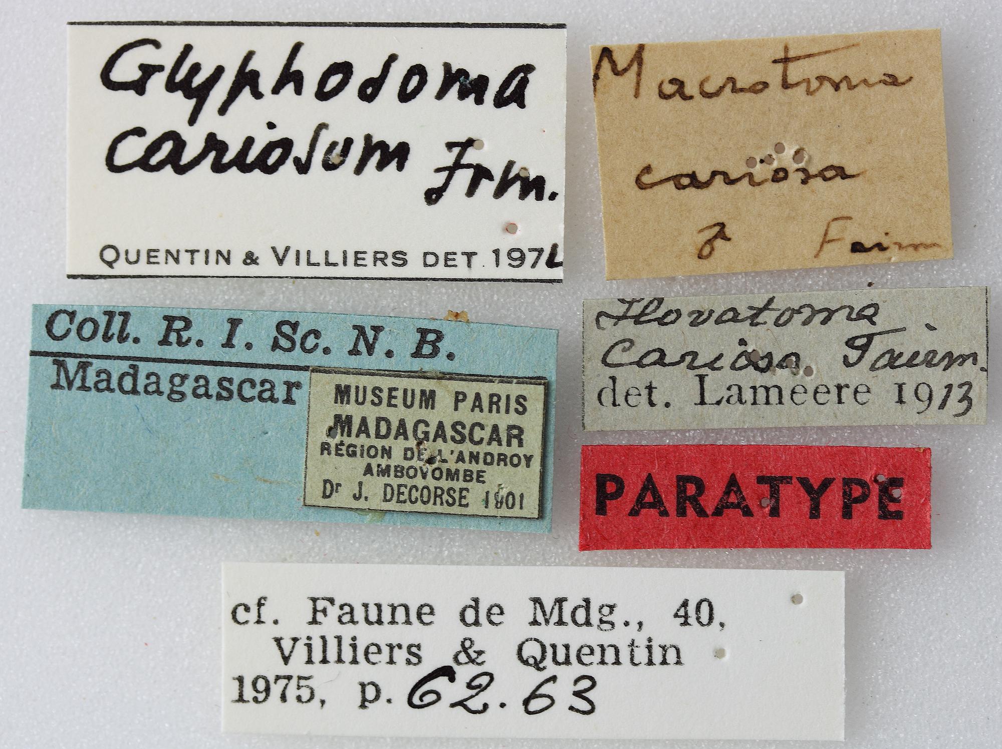 Macrotoma cariosa 05 00 PAR M 050 BRUS 201405.JPG