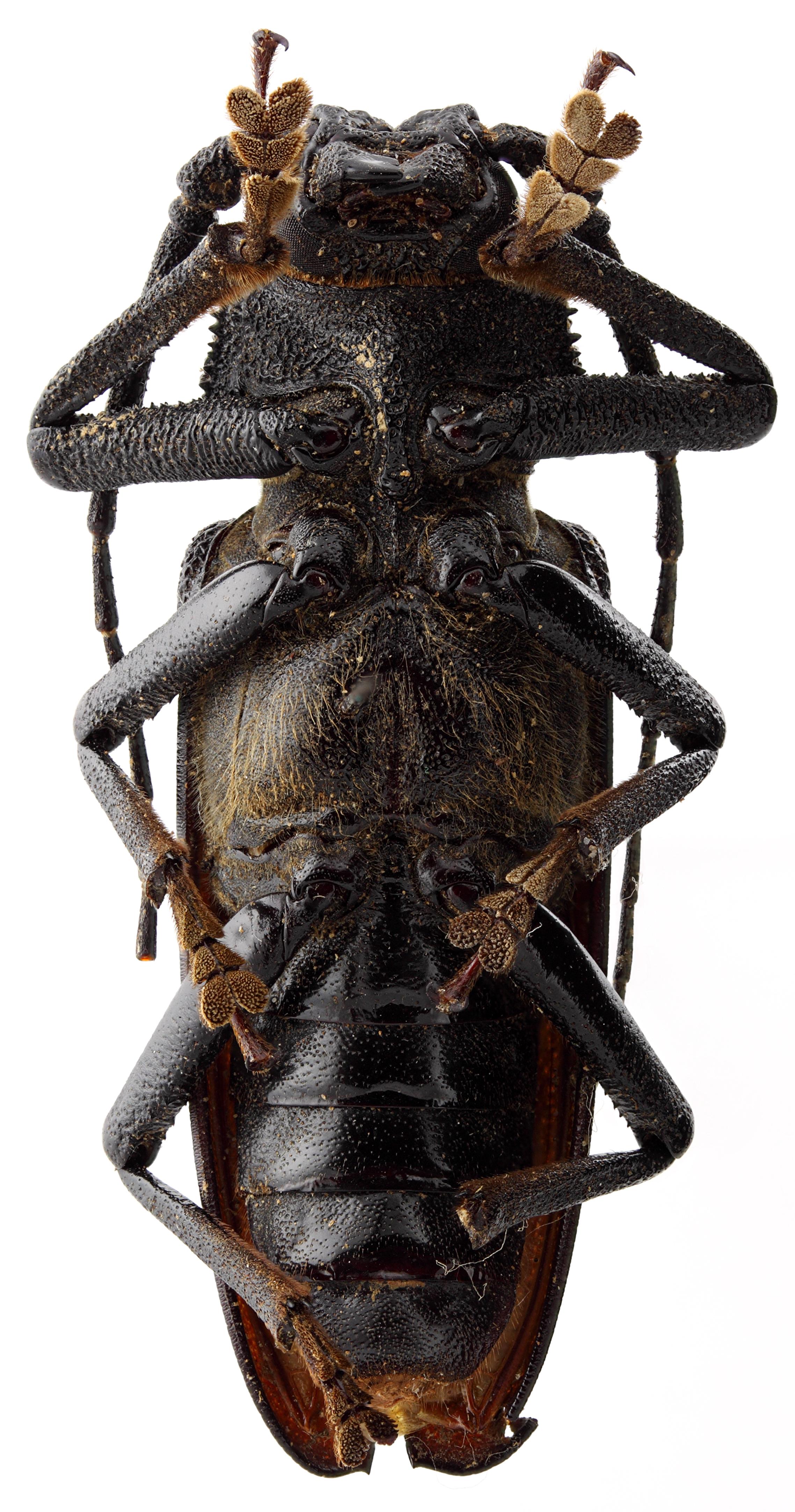 Macrotoma cariosa 05 SP PAR M 050 BRUS 201405.JPG