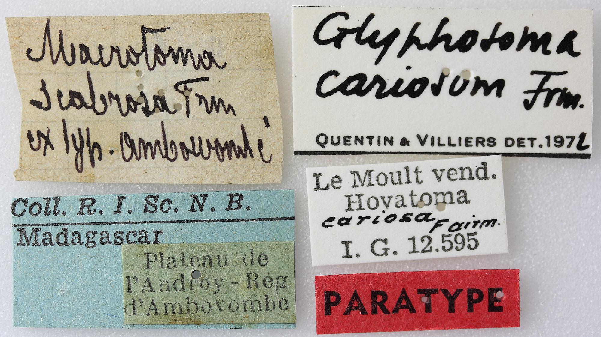 Macrotoma cariosa 04 00 PAR F 036 BRUS 201405.JPG
