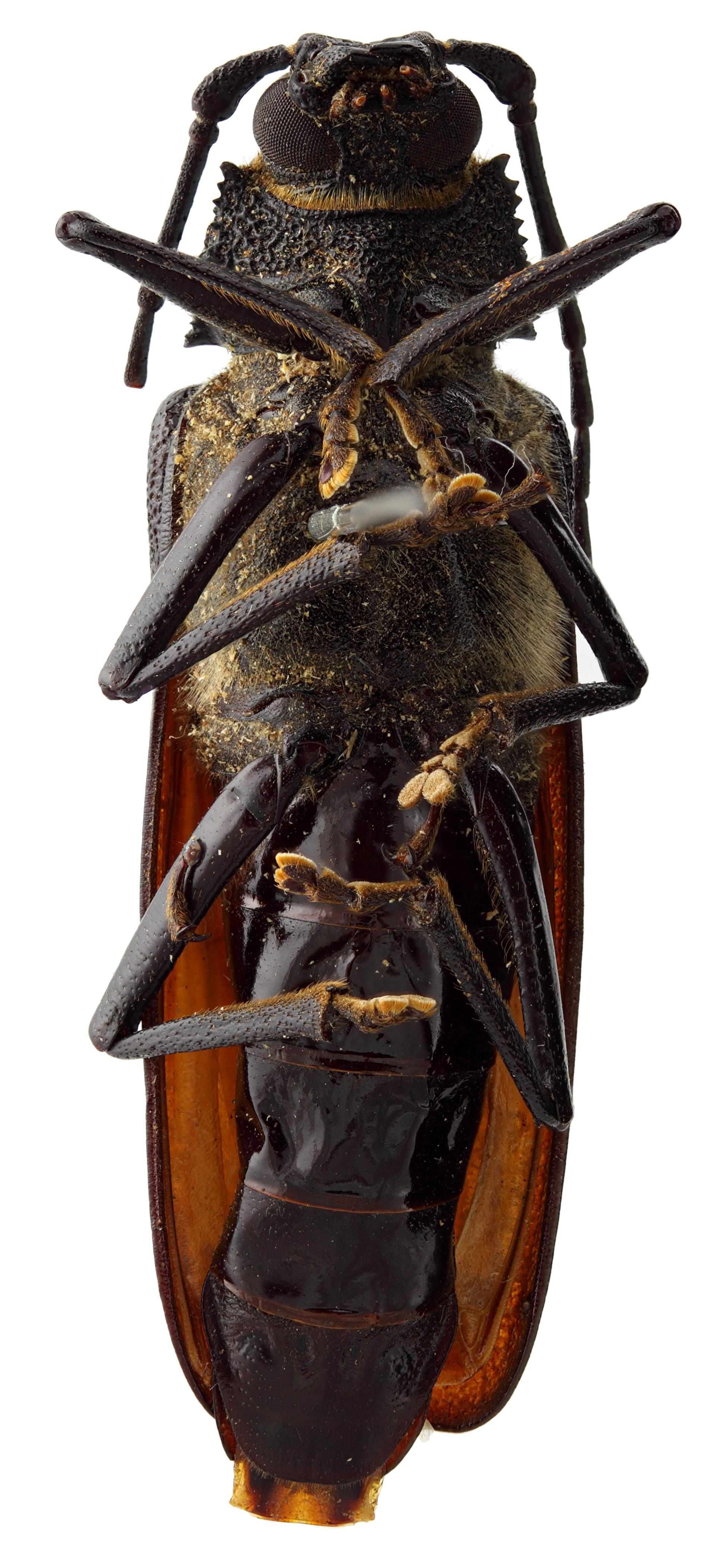 Macrotoma cariosa 04 SP PAR F 036 BRUS 201405.JPG