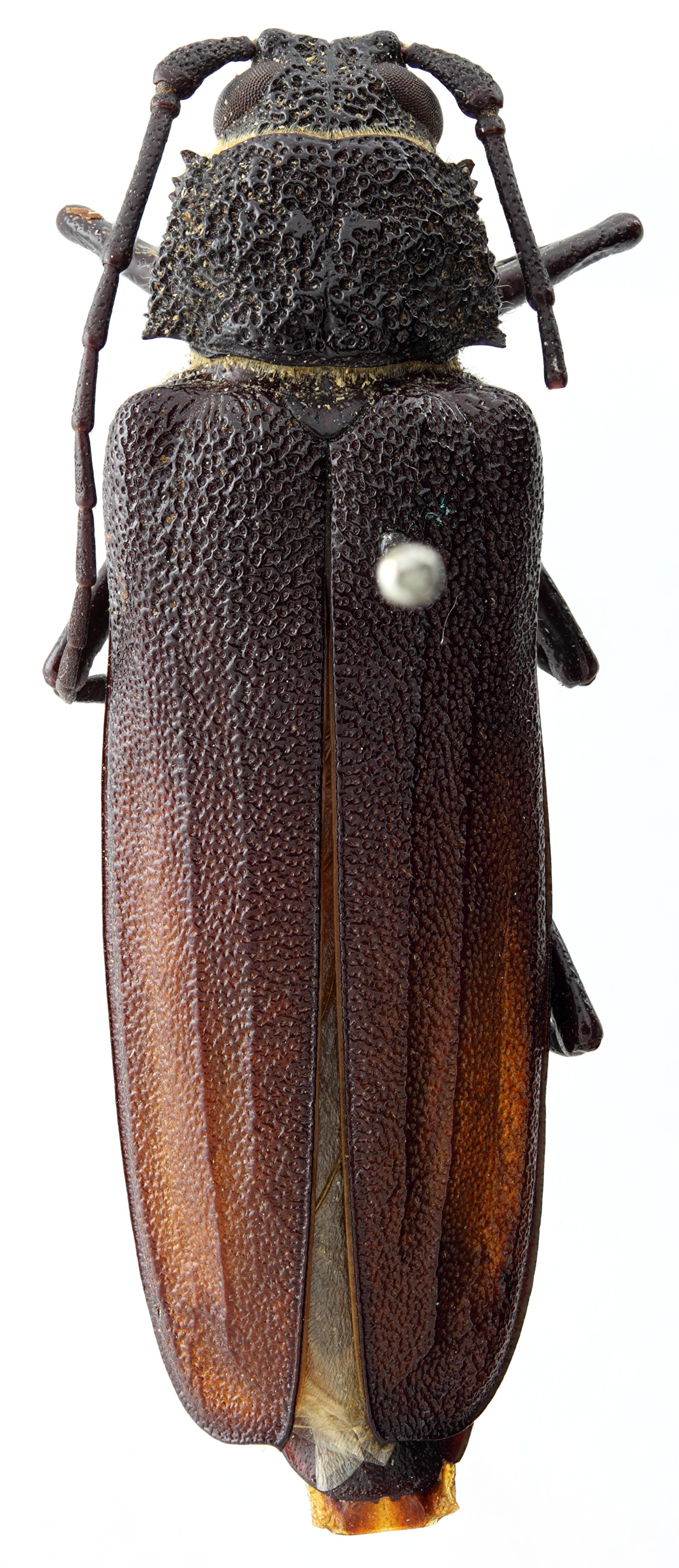 Macrotoma cariosa 04 HP PAR F 036 BRUS 201405.JPG