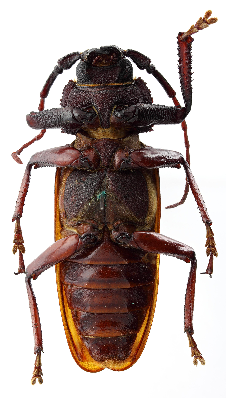 Macrotoma Navosomopsis) kafakumbae 05 SP Holotype M 058 BRUS 201405.jpg