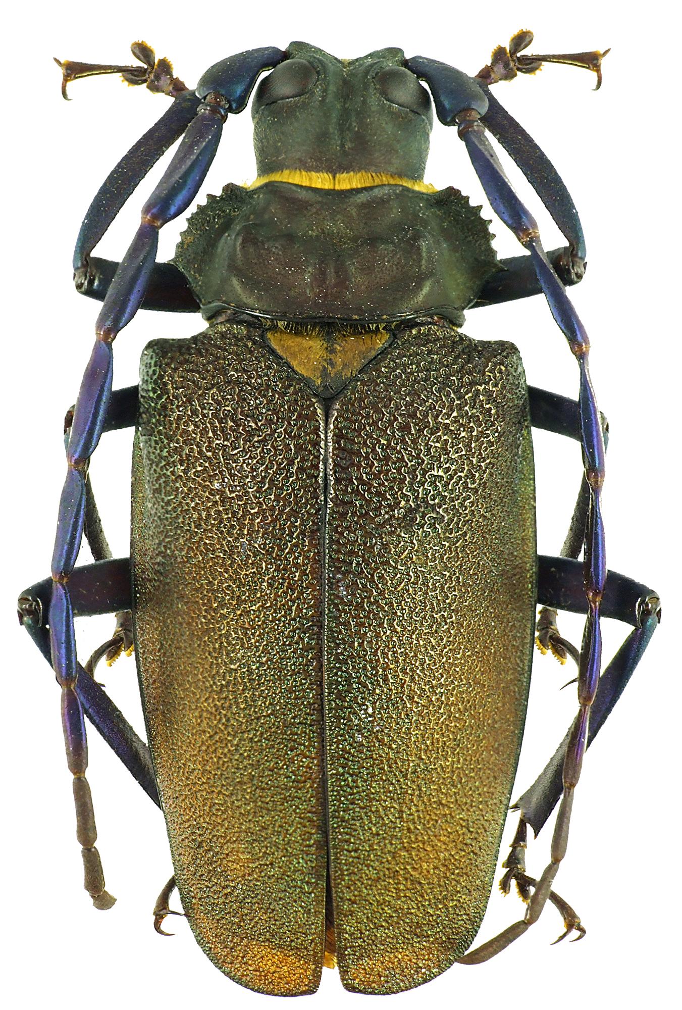 Mallaspis scutellaris 47144cz48.jpg