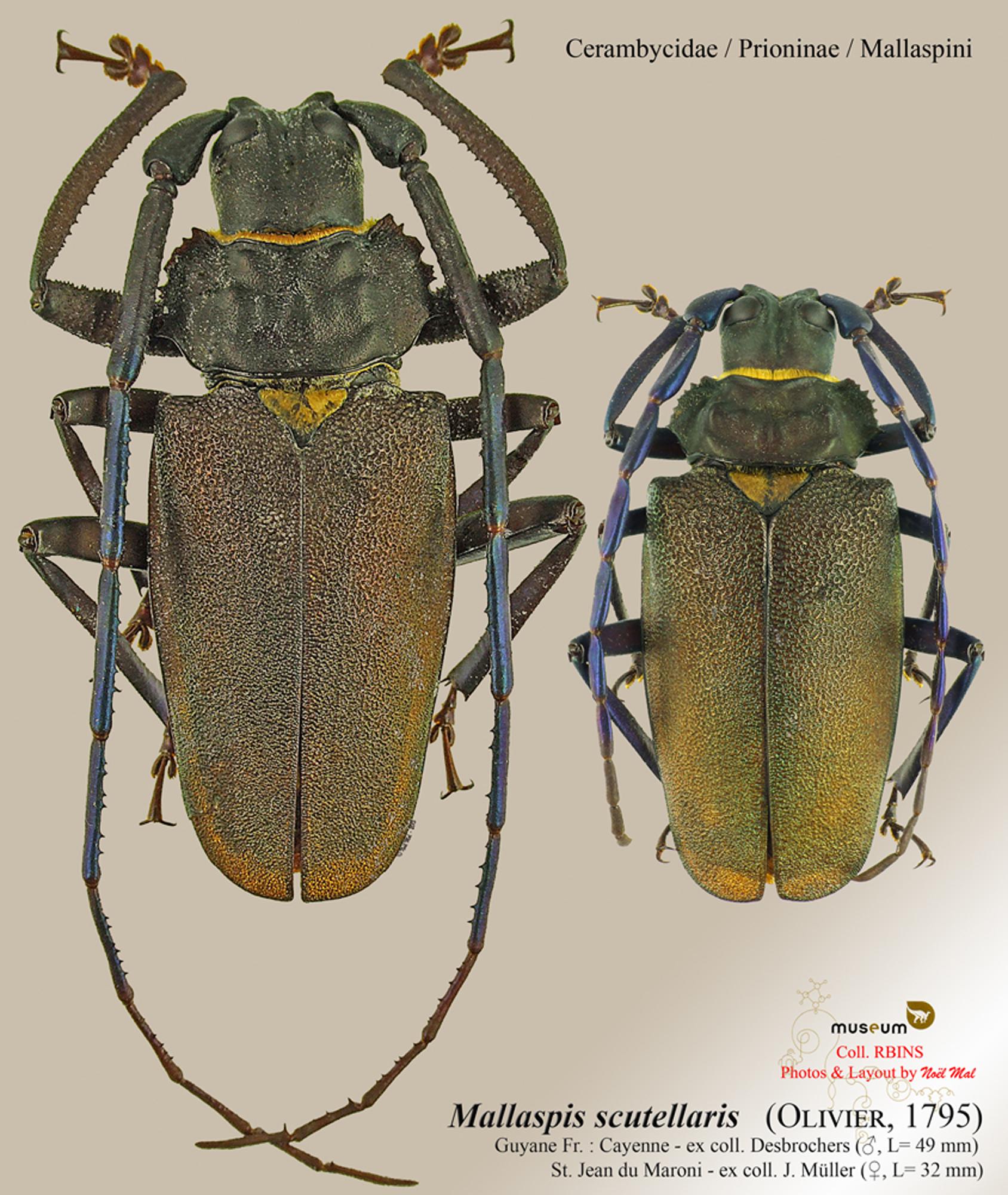 Mallaspis scutellaris.jpg