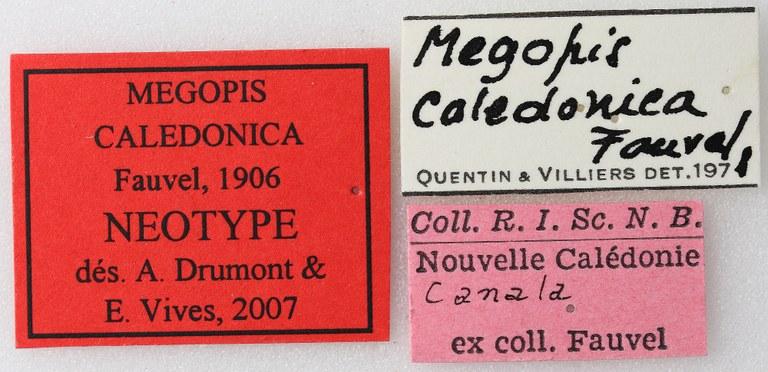 Megopis caledonica 03 00 Neotype F 025 BRUS 201405.jpg