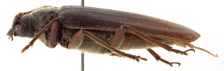 Megopis caledonica 03 BL Neotype F 025 BRUS 201405.jpg