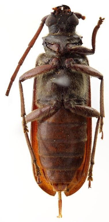 Megopis caledonica 03 SP Neotype F 025 BRUS 201405.jpg