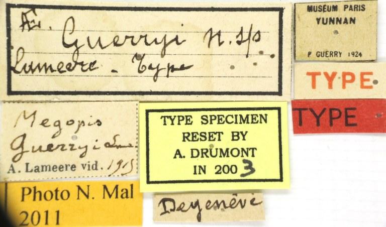Megopis guerryi et T 56895.jpg