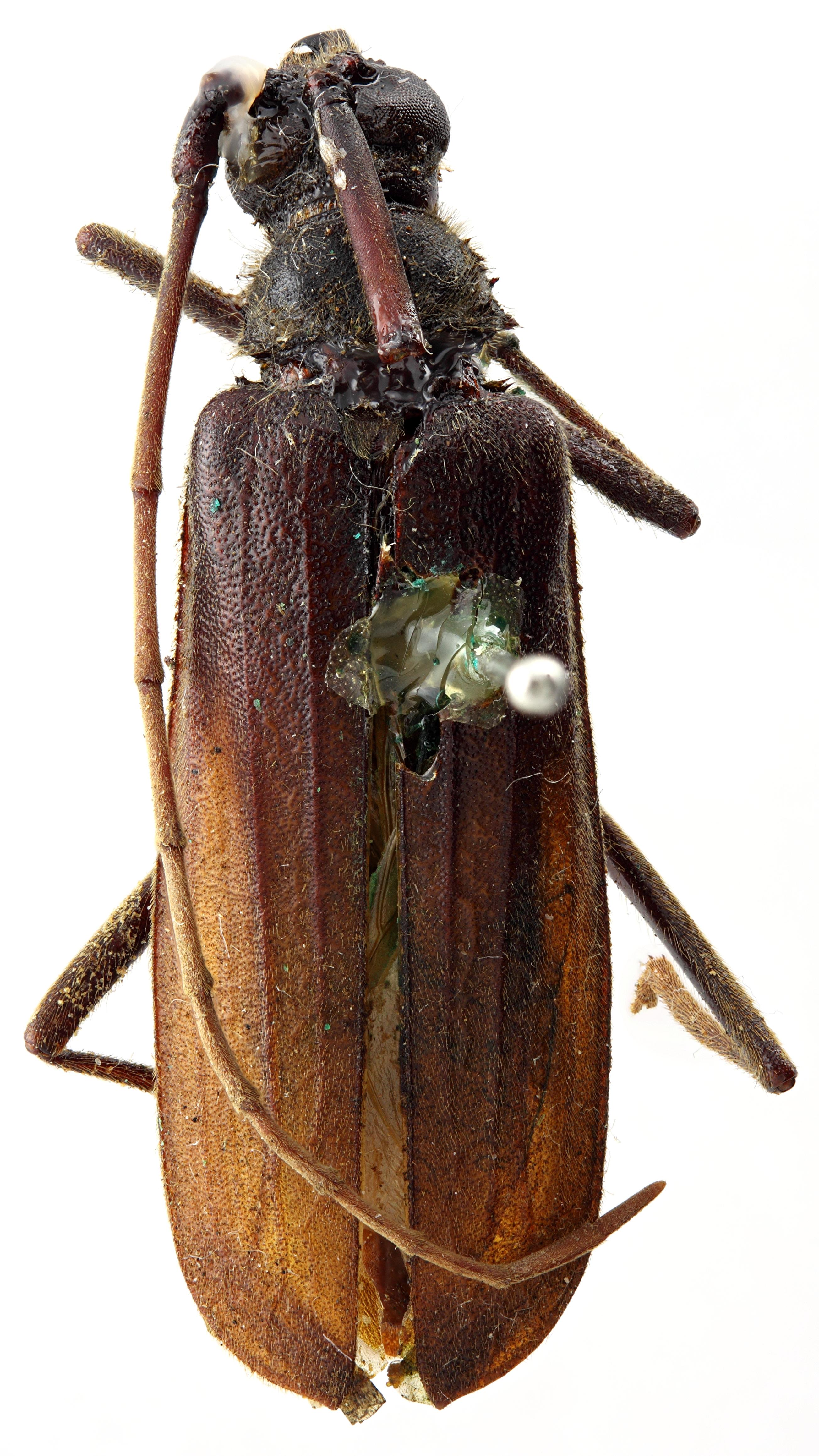 Megopis lacordairei 09 hp Holotype M 045 BRUS 201405.jpg