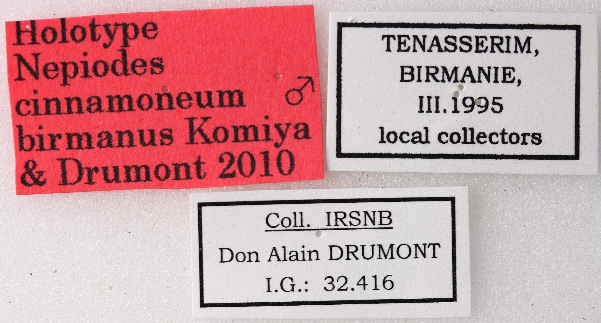 Nepiodes cinnamoneum birmanus 01 00 Holotype M 029 BRUS 201405.jpg