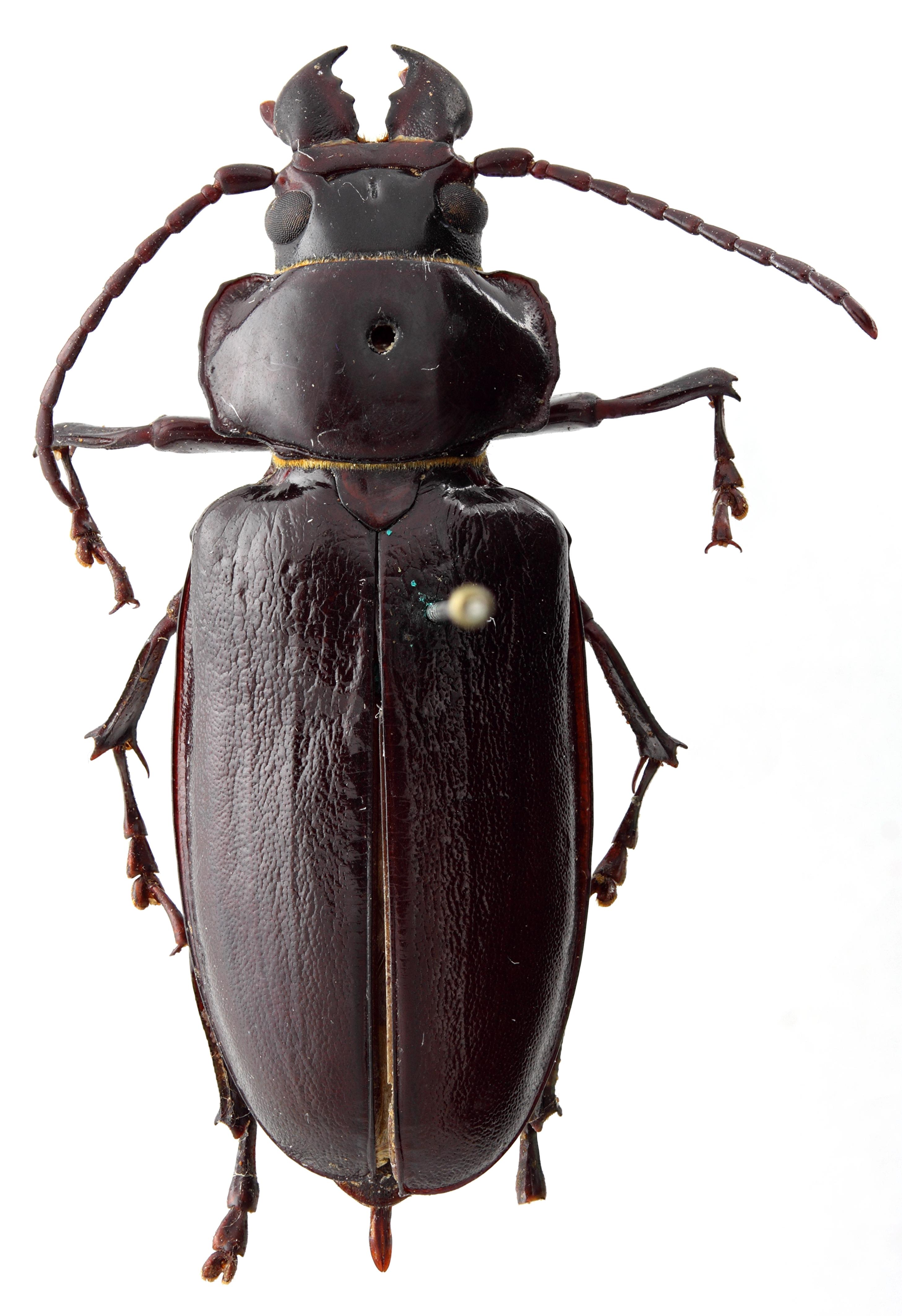 Notophysis cloetensi 01 HP Holotype F 040 BRUS 201405.jpg