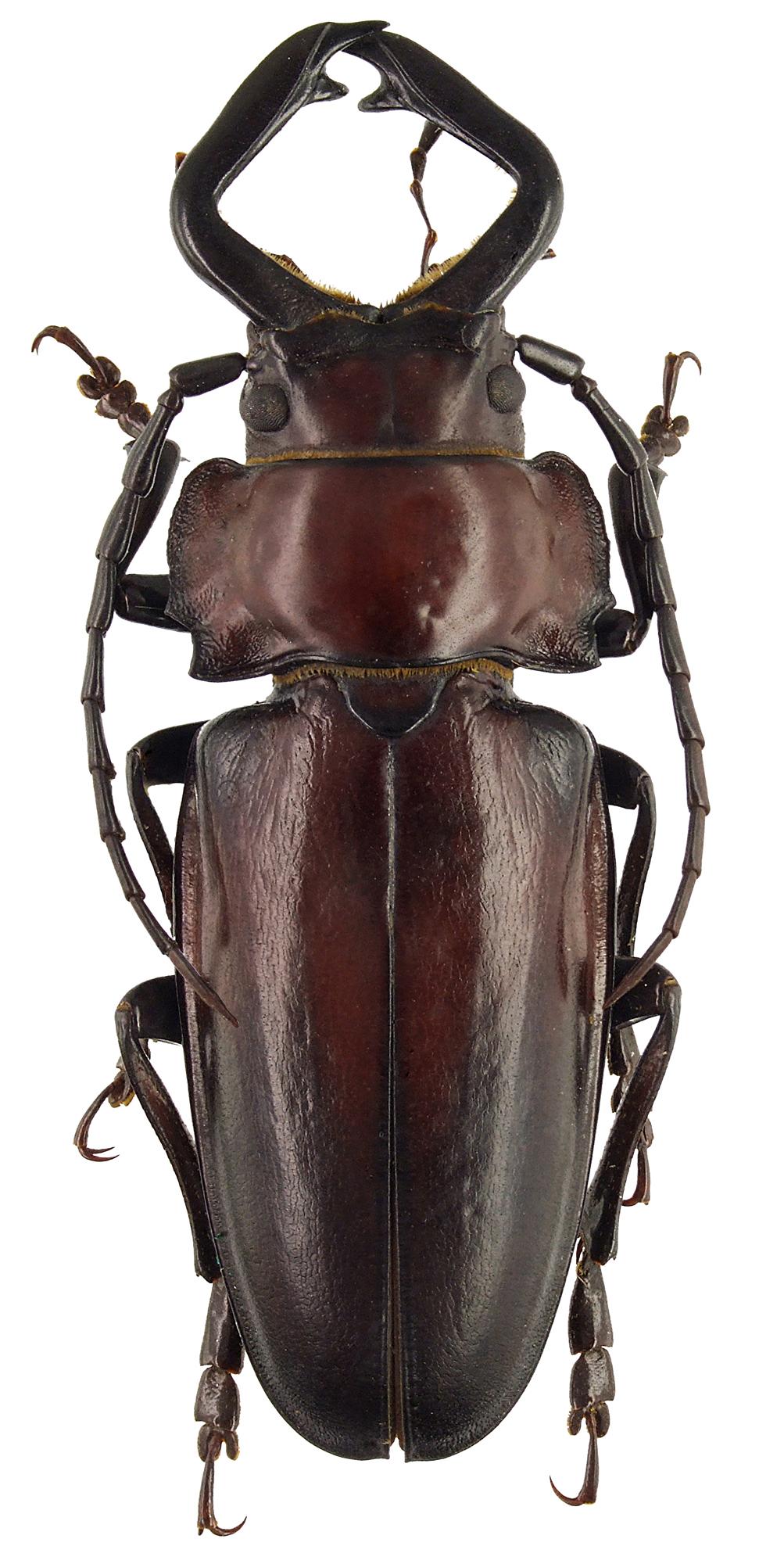 Notophysis forcipata 47284cz88.jpg