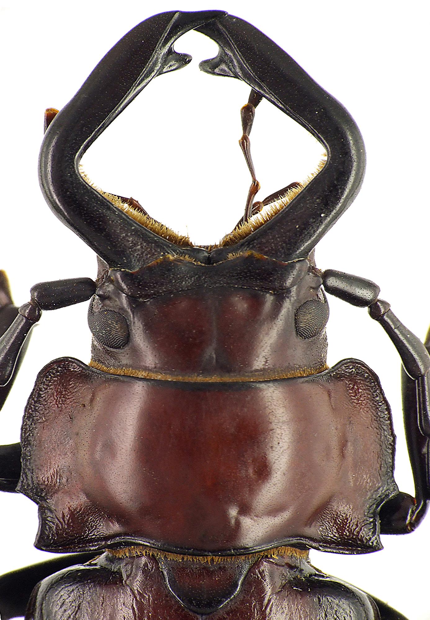 Notophysis forcipata 47289CZ92.jpg