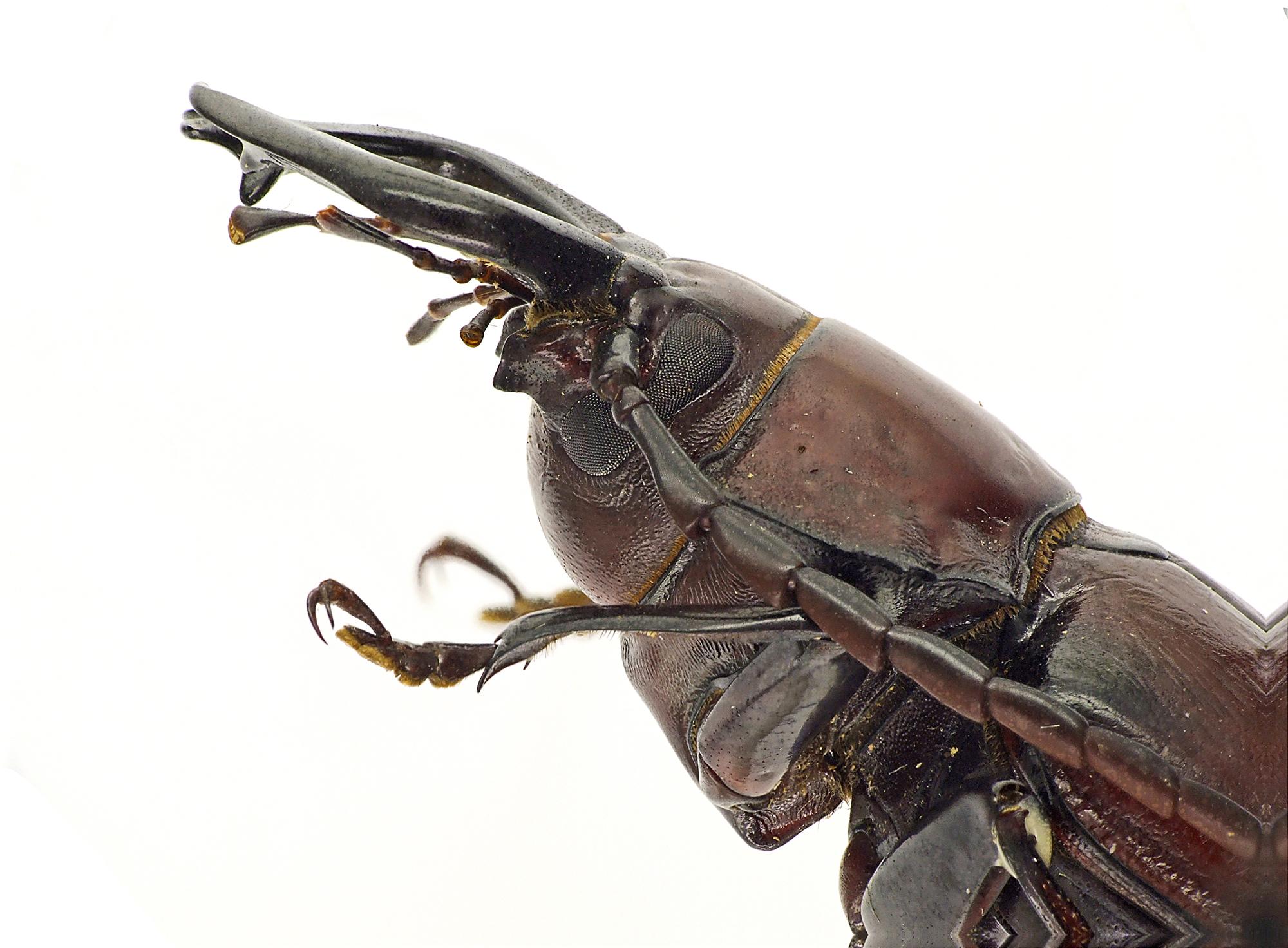 Notophysis forcipata 47293cz99.jpg
