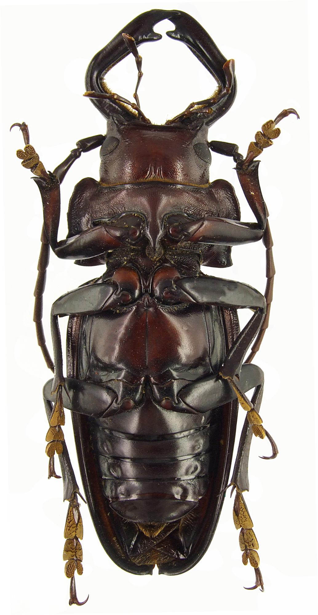 Notophysis forcipata 47300cz02.jpg