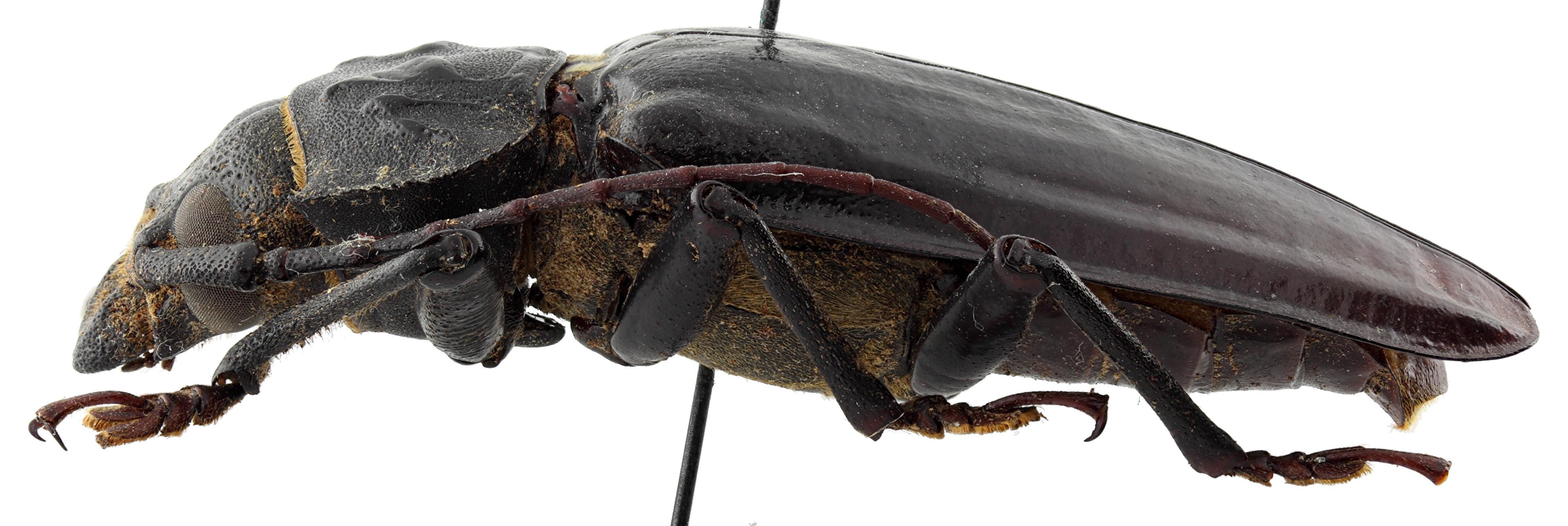 Olethrius laevipennis 01 BL Holotype M 056 BRUS 201405.jpg