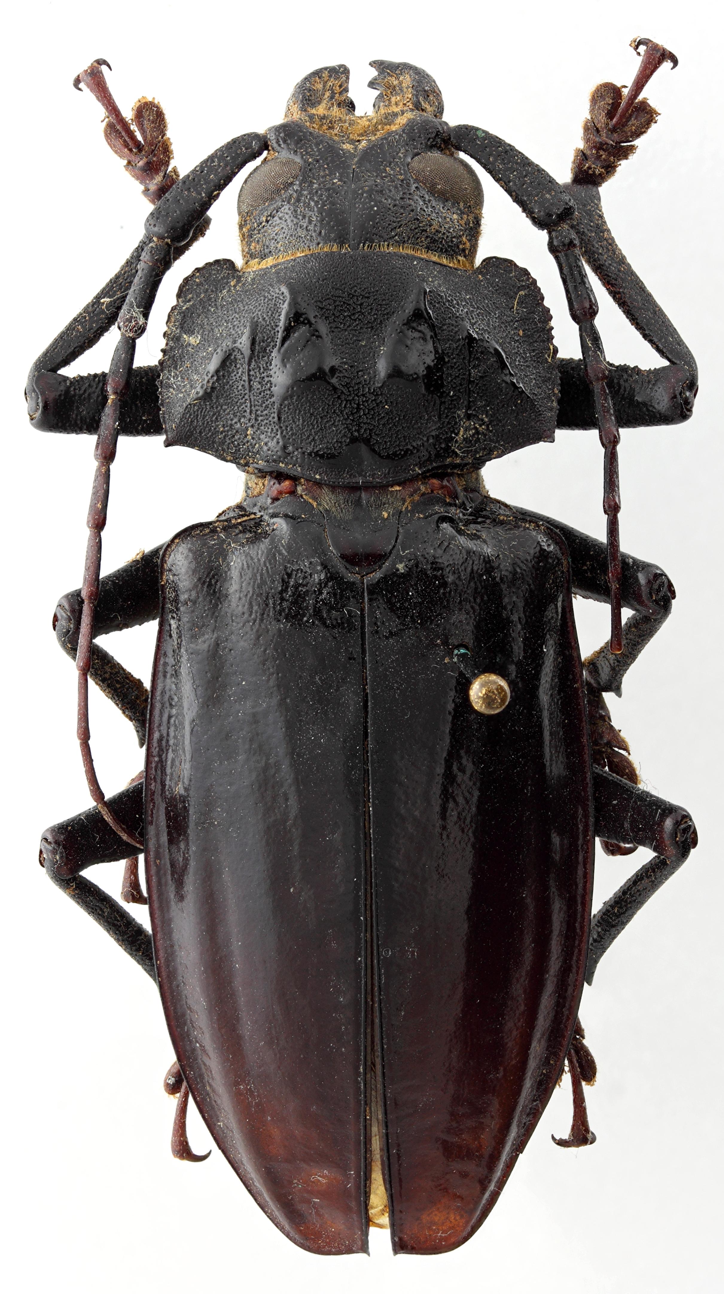 Olethrius laevipennis 01 HP Holotype M 056 BRUS 201405.jpg