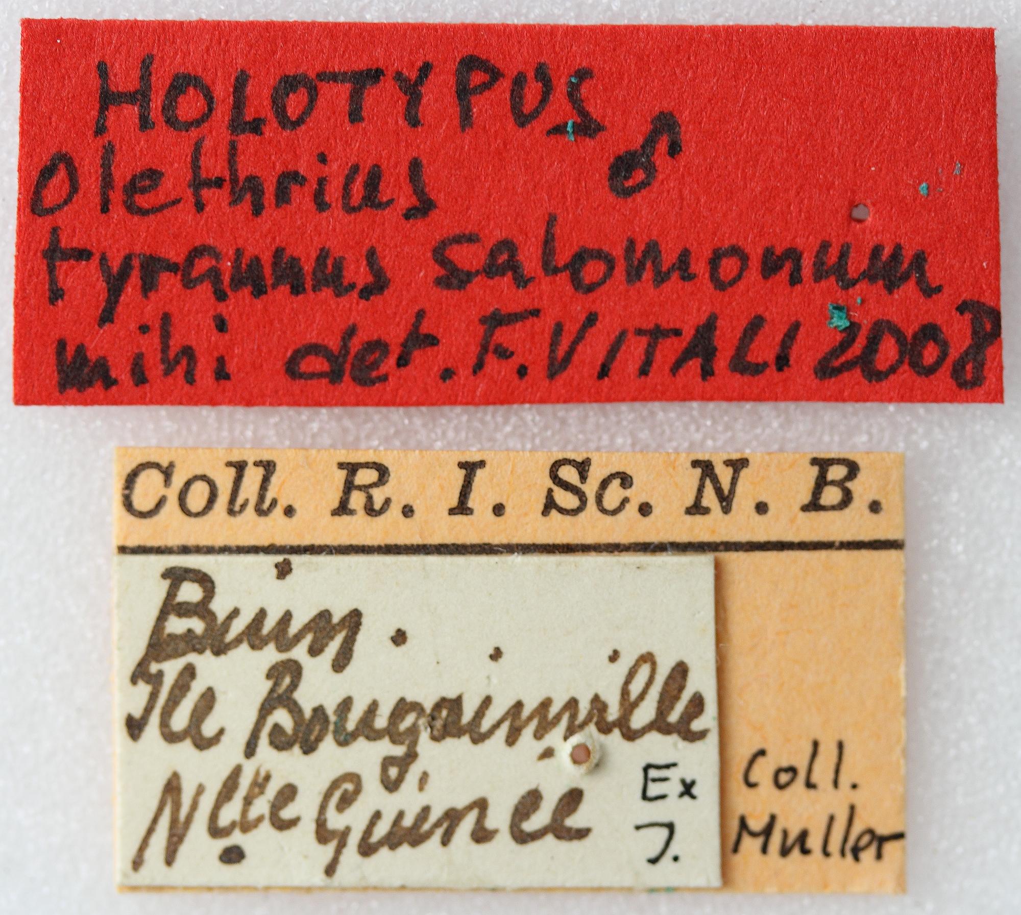 Olethrius tyrannus salomonum 01 00 Holotype M 042 BRUS 201405.jpg