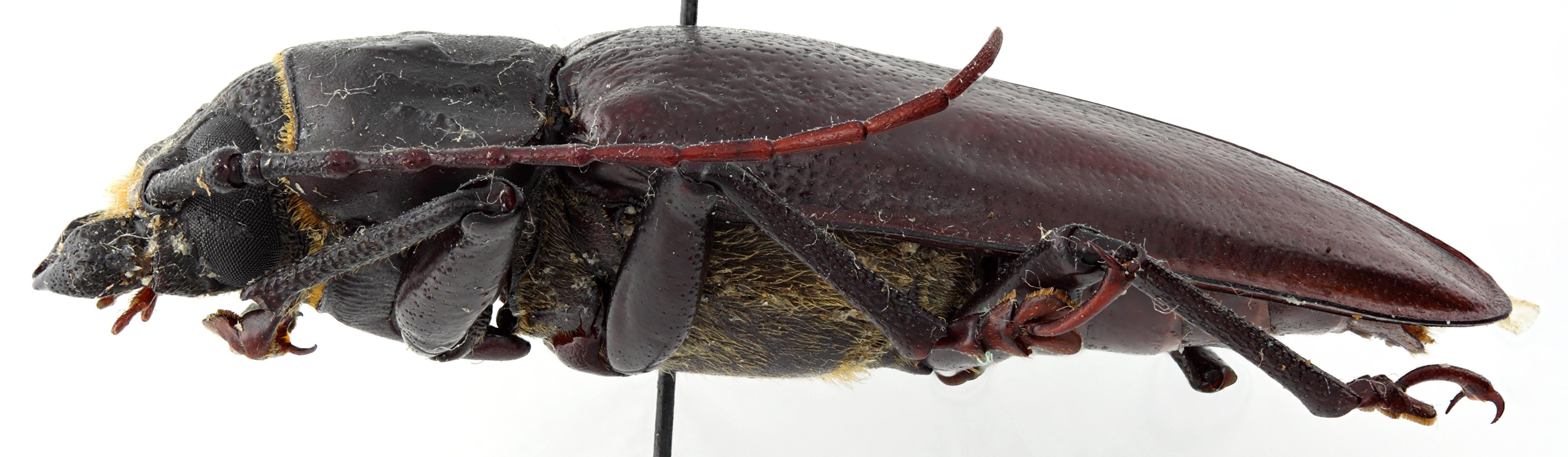 Olethrius tyrannus salomonum 01 BL Holotype M 042 BRUS 201405.jpg