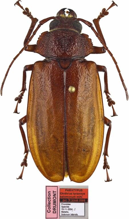 Olethrius tyrannus salomonum PT 46027cz30.jpg