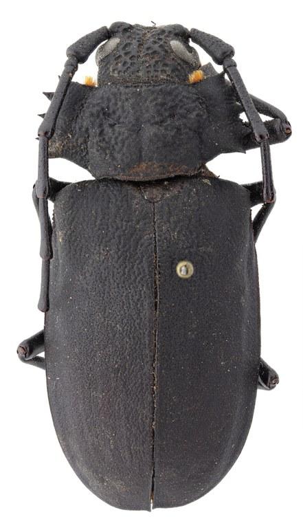 Pixodarus exasperatus inflatus ht M D.jpg