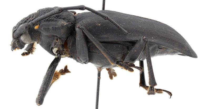 Pixodarus exasperatus inflatus ht M L.jpg