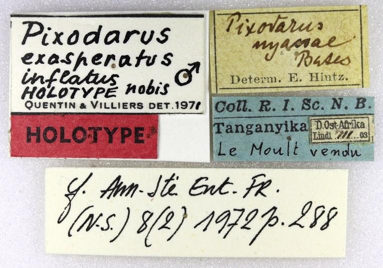 Pixodarus exasperatus inflatus ht M Lb.jpg